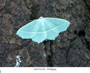 light-emerald-moth